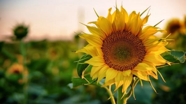 Floarea din Soare